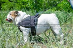 #Nylon #English #Bulldog #Harness with Adjustable Straps $49.90 | www.all-about-english-bulldog-dog-breed.com