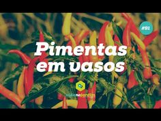 Como plantar pimentas em vasos #91 - YouTube