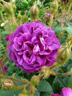 'William Lobb' | moss rose