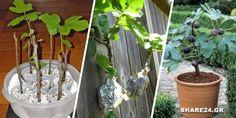 Πολλαπλασιάστε τη Συκιά με Αυτούς τους Εύκολους Τρόπους Τρόπους Home And Garden, Flowers, Plants, Kai, Gardens, House, Florals, Haus, Plant