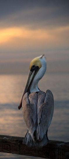 What a wonderful bird is the pelican, His beak can hold more than his belly can