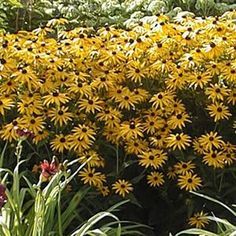 Buy Rudbeckia Goldsturm Perennial Plants Online. Garden Crossings Online  Garden Center Offers A Large Selection