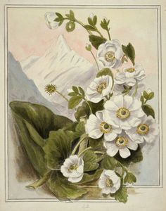 Mt Cook Buttercup -for upper arm tattoo