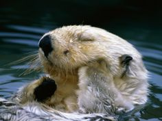 <b>Widely considered the cutest animal in the ocean, sea otters have a troubled history with humans.</b> Let