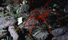 In the dark, cold depths of the polar oceans lurk the creatures of your nightmares. Huge 'sea spiders' in the Arctic and Southern Oceans grow bigger in these regions than anywhere else.