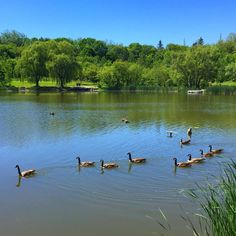 """36 Likes, 2 Comments - @ProducahMan (@producahman) on Instagram: """"Canada geese on Topham Pond, Toronto"""""""