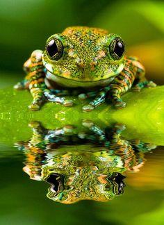 このカエルの驚くべき色! amazing colours on this frog! Love it.