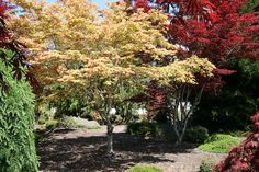Acer palmatum Amber Ghost at Essence of the tree