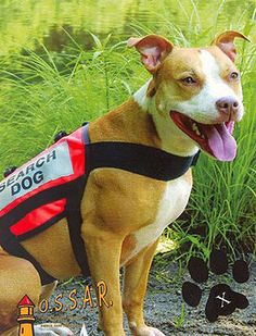 pit bull sar dog - Google Search
