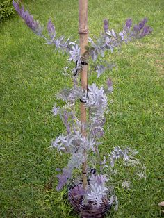 Acacia baileyana rubra