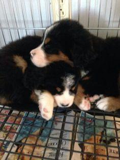 3 weeks old   Bernese Mountain Dog \