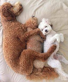 Poodle | PetSync