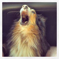 I am Morgan - hear me ROAR (or yawn, whichever) #sheltie
