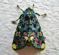 One sexy moth