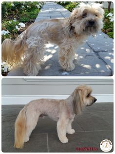 Funny  😘 🐶 Ratty to Regal - Professional Dog Grooming Service in Bicton with Lots of Love, Care, Patience and Treats:) Mob.: 04 02 761153 Ula Facebook: https://www.facebook.com/rattytoregal/  Website: https://rattytoregal.wixsite.com/rattytoregal
