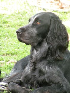 BLUE PICARDY SPANIEL - a French hunting dog breed - o click here to learn more about this dog breed