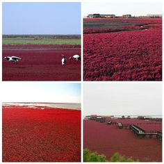 Red beach, Panjin China. WANT TO GO THERE