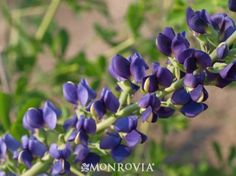 Monrovia's Midnight Prairieblues™ Indigo details and information. Learn more about Monrovia plants and best practices for best possible plant performance.