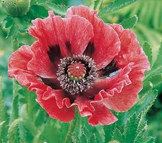 Papaver orientale BrooklynSold out, but please review this product