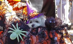 Halloween dog parade in Tompkins Square Park - this lil dog isn't spooked by a spider the size of his face! http://budgettravel.com/slideshow/americas-weirdest-and-cutest-parade,47636/