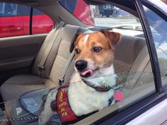 Adoptable Jack Russell, Duke | Georgia Jack Russell Rescue, Adoption and Sanctuary