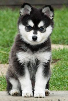 Moko the Alaskan Klee Kai puppy - pretty