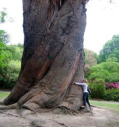 This massive tree, planted somewhere in the third-quarter of the 1800's, is in Christchurch Botanical Gardens, bounding Hagley Park. Most of the trees in Botanical Gardens seem to have survived the large earthquakes of 2010-11. This one is actually a Monkey Puzzle Tree - South America ( Araucaria araucana ). Different than a Norfolk Pine (also often called Monkey Puzzle). They often grow with a trunk resembling an Elephant's leg and sometimes even a foot! The twisted trunk is fairly…
