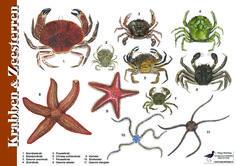 Herkenningskaart / zoekkaart Krabben en Zeesterren