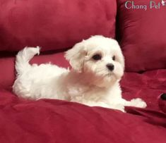 maltipoo puppies, maltipoo breeders, maltipoo rescue, maltipoo price, maltipoo, maltipoo dog, maltipoo adult, maltipoo breed, maltipoo care Maltipoo Rescue, Maltipoo Breeders, Maltipoo Puppies, Kittens Playing, Cats And Kittens, Maltese, Poodle, Sweet, Dogs