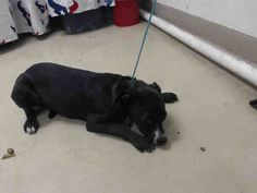 This DOG - ID#A460107 I am a female, black American Pit Bull Terrier. The shelter staff think I am about 1 year old. I have been at the shelter since May 27, 2016. This information was refreshed 55 minutes ago and may not represent all of the animals at the Harris County Public Health and Environmental Services.