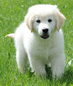 English Golden Retriever puppy. Maybe I'll get to get one when I get married!