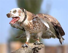 Collared dog-buzzard