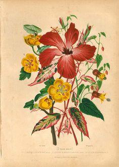 1876 Lilies Antique Chromolithograph Lilium Vintage by carambas, $32.00