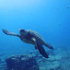 【breezehawaiidiving】さんのInstagramをピンしています。 《#breezehawaiidiving #ボート#ダイビング#ハワイダイビング#ウミガメ#体験#ウミウシ#ハワイ#ボート#ボートダイブ#ボートチャーター#海#ハワイの海#散骨#イルカ#体験ダイビング#ブリーズハワイ#沈船#HAWAII#sea turtle#scuba  diving#HAWAII scuba diving#boat charter#ハワイ散骨 #チャーターボートハワイ#HAWAII ash》