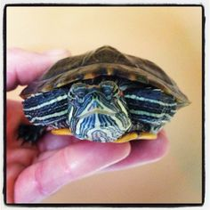 Turtle red eared slider