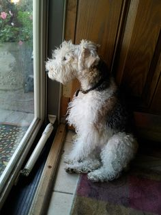 Wirefox Terrier! Repin/Like to get this puppy to win a contest!