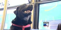 """""""Seattle's public transit system has had a ruff go of things lately, and that has riders smiling.""""  You see, of the 120 million riders who used the system last year, one of them is actually a dog. Seattle's KOMO-TV reports the 2-year-old black Labrad..."""