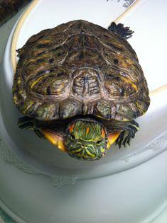 Red ear slider turtle  Fred