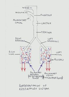 The Human Lungs - The Respiratory System(Vet Tech Notes) Respiratory System Anatomy, Respiratory Therapy, Lung Anatomy, Medical Anatomy, Nursing School Notes, Nursing Schools, Medical School, Medicine Notes, Science Notes
