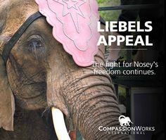 NEW! News on #Nosey The #Elephant ~ As expected, the Liebel family has filed an appeal in the courts in a further attempt to regain custody of Nosey. Although not surprising it is frustrating, but we (Action For Nosey Now) will continue to advocate and fight for Nosey to remain at The Elephant Sanctuary in Tennessee, where she can receive the care she needs and live the life she deserves!