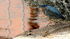 A green heron waits to snag his supper before the sun goes down. Photo by Chandra Nyleen