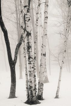 birches in winter fog 8x10 fine art black by KSinclairPhotography, $25.00