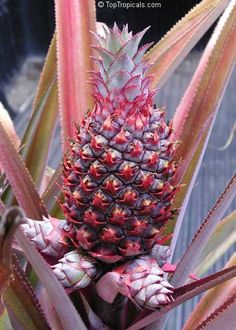 Royal Hawaiian Pineapple   Pineapple Royal Hawaiian. Plants are with fruit. Nothing says exotic and tropical like this edible pinepple - the most desirable and commercially grown variety. It can be successfully grown in a pot. Colorful, spineless (!) foliage and delicious fruit.