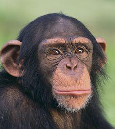 Chimpanzees in its Habitat Animals And Pets, Baby Animals, Funny Animals, Cute Animals, Ape Monkey, Monkey Art, Monkey Pictures, Animal Pictures, Los Primates