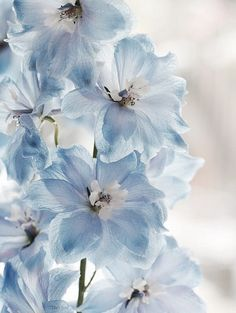 beautiful delphinium delirium