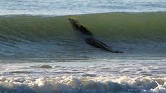 Giant crocodile takes to surf, prompting beach closure in Australia | GrindTV.com