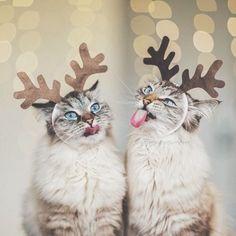 Adorable Christmas cats :)