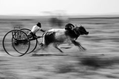 The race is held in Amarapura during the pagoda festival in April. Bullock Cart, Amarapura, Myanmar Travel, Plan Your Trip, Travel Essentials, Racing, Horses, Animals, Running