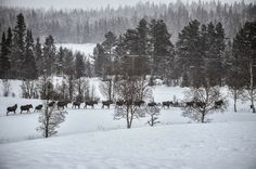 26 mooses in a row Winter Snow, Winter Wonderland, Norway, The Row, Pictures, Outdoor, Inspiration, Image, Moose