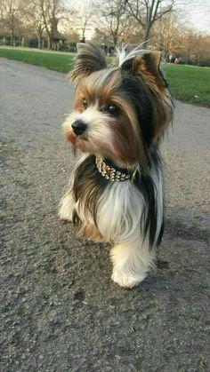 Discover Yorkshire Terrier Long Hair Yorkshire Terrier Facts Yorkie Source by Yorkies, Biewer Yorkie, Havanese Puppies, Rottweiler Puppies, Yorkie Puppy, Cute Puppies, Cute Dogs, Dogs And Puppies, Poodle Puppies